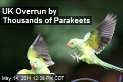 In the UK, Thousands of Parakeets Swarm