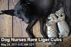 Dog Nurses Rare Liger Cubs in China Zoo