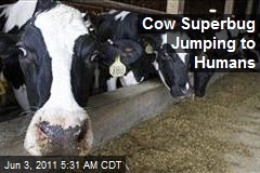 Cow 'Superbug' Jumping to Humans
