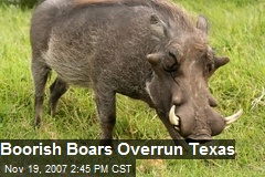 Boorish Boars Overrun Texas