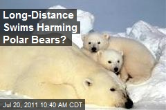 Long-Distance Swims Harming Polar Bears?