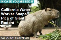Capybara Rodent Roams Paso Robles, California