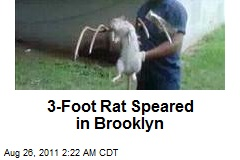 3-Foot Rat Speared in Brooklyn