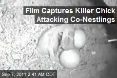 Film Catches Killer Chicks Attacking Co-Nestlings