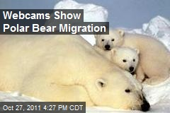 Webcams Show Polar Bear Migration