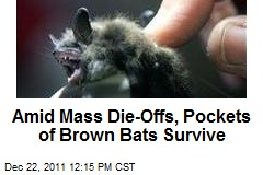 Amid Mass Die-Offs, Pockets of Brown Bats Survive