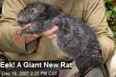 Eek! A Giant New Rat