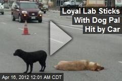 Loyal Lab Sticks With Dog Pal Hit by Car