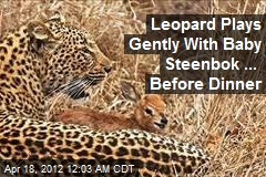 Leopard Plays Gently With Baby Steenbok ... Before Dinner