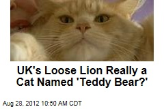 UK's Loose Lion Really a Cat Named 'Teddy Bear?'