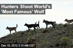 Hunters Shoot Famous Yellowstone Wolf