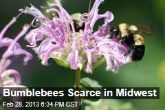 Bumblebees Scarce in Midwest