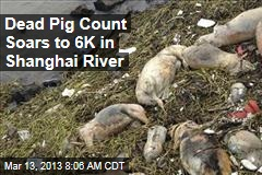 Dead Pig Count Soars to 6K in Shanghai River