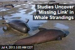 Studies Uncover 'Missing Link' in Whale Strandings