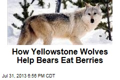 How Yellowstone Wolves Help Bears Eat Berries