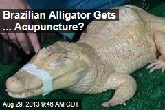 Brazilian Alligator Gets ... Acupuncture?