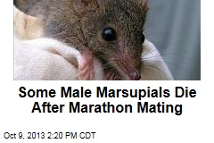 Some Male Marsupials Die After Marathon Mating