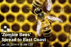 'Zombie Bees' Spread to East Coast