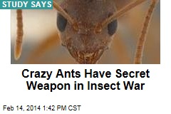 Crazy Ants Have Secret Weapon in Insect War