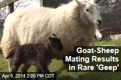 Goat-Sheep Mating Results in Rare 'Geep'