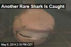 Another Rare Shark Is Caught