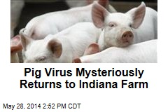 Pig Virus Mysteriously Returns to Indiana Farm