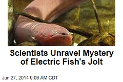 Scientists Unravel Mystery of Electric Eels' Jolt