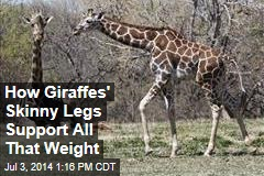 How Giraffes' Skinny Legs Support All That Weight