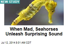 When Mad, Seahorses Unleash Surprising Sound