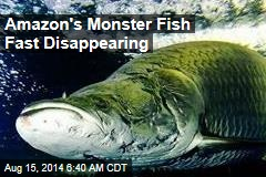 Amazon's Monster Fish Fast Disappearing
