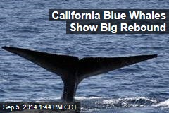 Calif. Blue Whales Back in Business