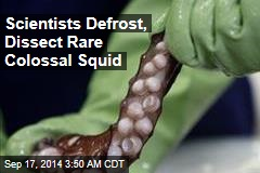 Scientists Dissect Rare, 'Perfect' Colossal Squid