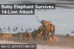 Baby Elephant Survives 14-Lion Attack