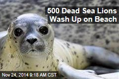 500 Dead Sea Lions Wash Up on Beach