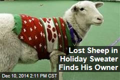 Lost Sheep in Holiday Sweater Finds His Owner