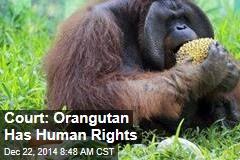 Court: Orangutan Has Human Rights