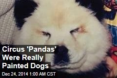 Circus 'Pandas' Were Painted Dogs