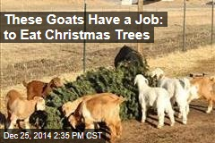 These Goats Have a Job: to Eat Christmas Trees