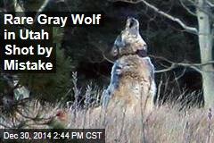 Rare Gray Wolf in Utah Shot by Mistake