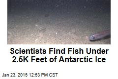 Scientists Find Fish Under 2.5K Feet of Antarctic Ice