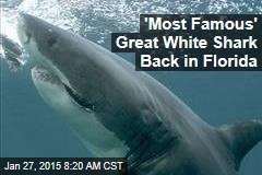 'Most Famous' Great White Shark Back in Florida