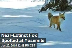 Near-Extinct Fox Spotted at Yellowstone
