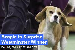 Beagle is Surprise Westminster Winner