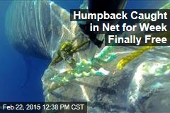 Humpback Caught in Net for Week Finally Free