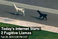 Today's Internet Stars: 2 Fugitive Llamas