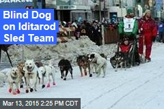 Blind Dog on Iditarod Sled Team