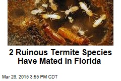 2 Ruinous Termite Species Have Mated in Florida