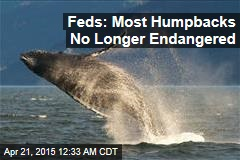 Feds: Most Humpbacks No Longer Endangered