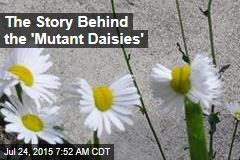 The Story Behind the 'Mutant Daisies'