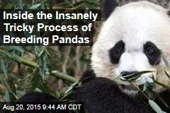 Inside the Insanely Tricky Process of Breeding Pandas